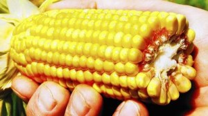 Some varieties of genetically modified corn require less pesticide to thrive